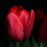 Тюльпан  огненно красный :: Damir Si