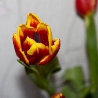 Тюльпан :: Алла ZALLA