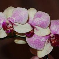 Орхидеи :: Damir Si