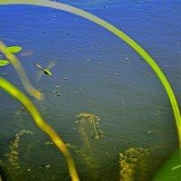 водомерки :: petyxov петухов