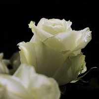 Недолгая красота :: Светлана