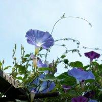 Городские цветы Ипомея голубая (Ipomea) или Вьюнок :: Юрий Медведев