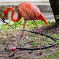 Розовый фламинго :: vcherkun