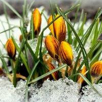 Вестники весны :: Ирина Подольская