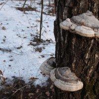 грибы на дереве :: Илья