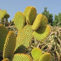 Бархатный кактус (Опунция мелковолосистая) :: Николай
