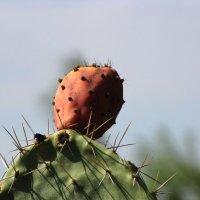 Плоды кактуса Опунция :: Николай