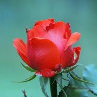 Роза :: Владимир Клюев