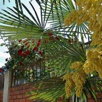 пальма цветёт :: СветЛана D