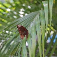 бабочка на пальме. :: maikl falkon