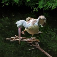 Пеликаньи пляски... :: GaL-Lina .