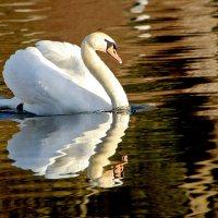Лебедь шипун :: Alexander Andronik