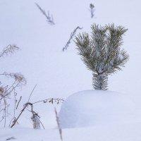 В лесу говорят, в снегу говорят, растёт говорят сосёнка... :: Владимир Максимов