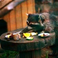 енот за обедом :: Михаил Останин
