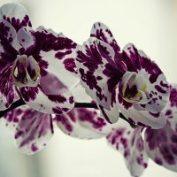Орхидея доритинопсис Фея Тиухбао :: Ирина Приходько