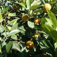 А эти мандаринки уже поспели. :: Galina194701
