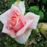 Дождь в июле... :: Тамара (st.tamara)