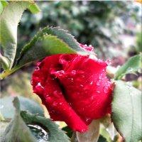 В августе под дождём... :: Тамара (st.tamara)