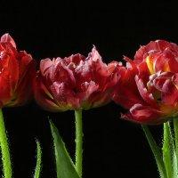 Красные тюльпаны с каплями :: Светлана Л.
