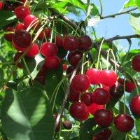 Ветка вишни... :: Тамара (st.tamara)