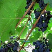 Август-время винограда... :: Тамара (st.tamara)