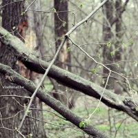 Весна...Зеленеет :: Vladlena Che