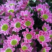 Хризантема - последний аккорд в осенней симфонии красок... :: Anna Gornostayeva