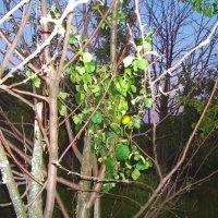 Плодоносяшая ветка на почти полностью  погибшей яблоне :: Владимир Ростовский
