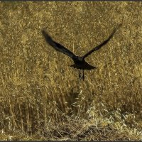 «Черный ворон2» :: Shmual Hava Retro