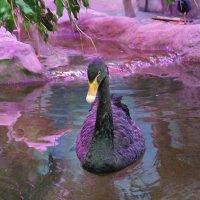Черный лебедь :: Елена Павлова (Смолова)