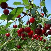 Вишнёвый урожай. :: юрий