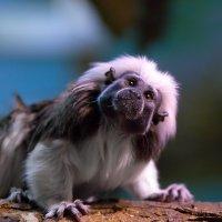 Хохлатый тамарин, обезьянка  Пинче или Эдипова игрунка... :: GaL-Lina .