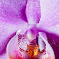 Орхидея :: Денис Красненко