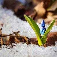 А ведь это не подснежник вырастает там, где растаял снег, а СНЕГ ТАЕТ там, где пробился подснежник:) :: Дарья Казбанова