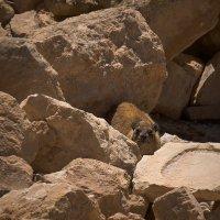 Даман - скалистый заяц :: Lmark