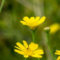 Желтые хризантемы :: Александр Деревяшкин