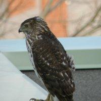 Гость на нашем балконе...Ветер трепал перья на его спине.... :: Юрий Поляков