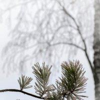 Сосна и берёза :: Андрий Майковский