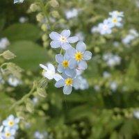 милые цветочки :: Катерина Шинтарь