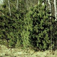 Весенний лес :: Viktor Heronin
