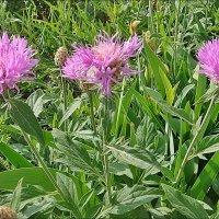 Майское цветение амбербоа :: Нина Корешкова