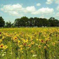 поле цветов :: георгий петькун