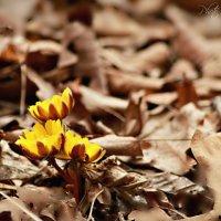 весенний первоцвет :: Tatyana Belova