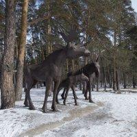 Лоси в лесу :: Андрей Черников