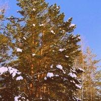 Сосна зимой :: Ксения Пискунова