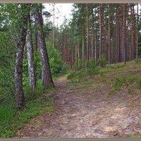 Смешанный лес... :: Андрей Медведев