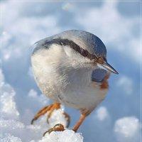 Поползень на снегу... :: Андрей Медведев