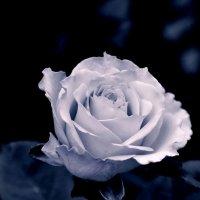 роза :: Михаил Карпов