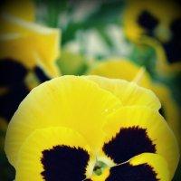 Черно-желтые :: дмитрий атаманюк