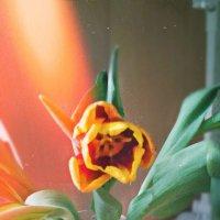 tulips :: Виктория Гартман